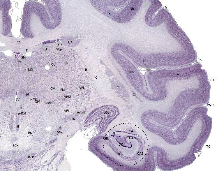 O córtex cerebral é a parte mais externa dos cérebros dos vertebrados. Na imagem, pode ser visto na tonalidade mais escura da cor roxa. Crédito: brainmaps.org