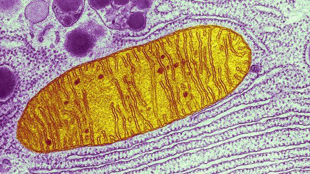 """Microfotografia de uma mitocôndria (em amarelo), uma das """"fabriquetas"""" de energia dentro de uma célula. Crédito: Keith R. Porter/Science"""