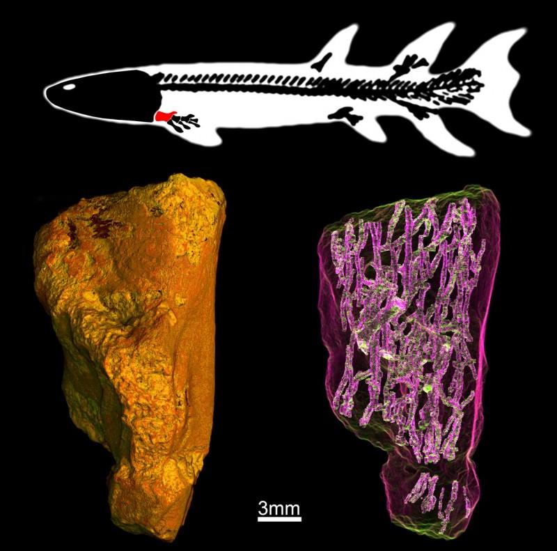 Microtomografia síncrotron (dir.) do úmero fossilizado (esq.) de um peixe do gênero Eusthenopteron (acima), de 370 milhões de anos. A rede de canais vista na imagem revelou detalhes a respeito da evolução da localização da medula óssea nos membros dos tetrápodes. Crédito: Sophie Sanchez