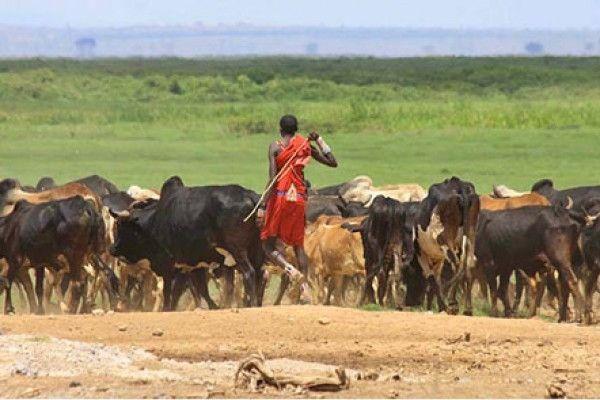 Um homem da etnia masai, com sua tradicional veste vermelha, conduz o gado no Quênia. Foto: Graeme Shannon