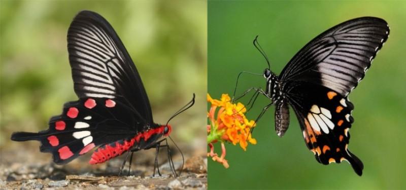A borboleta mórmon comum (Papilio polytes, à direita) imita os padrões de asa da borboleta rosa comum (à esquerda). Crédito: Krushnamegh Kunte (esq.) and Khew Sin Khoo (dir.)