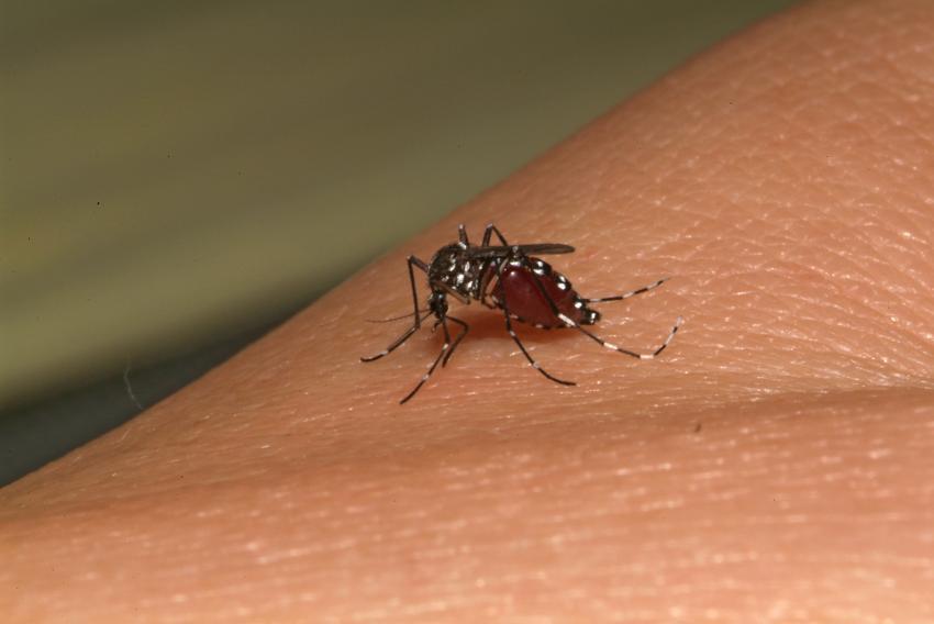 Aedes albopictus se alimentando. Uma refeição como esta pode transmitir a febre Chikungunya, doença severa que pode estar prestes a se tornar epidêmica no continente americano. Crédito: Institut Pasteur