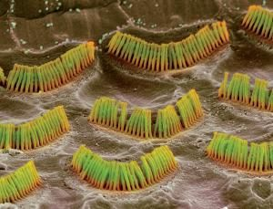 Células ciliadas plenamente funcionais no ouvido interno. Crédito: Steve Gschmeissner/SPL