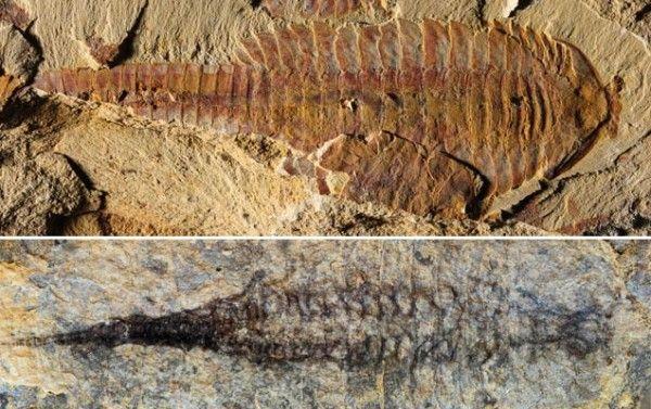 Fósseis de 520 milhões de anos da espécie Fuxianhuia protensa descobertos na China. Acima, vê-se a estrutura externa do animal; abaixo, seu sistema cardiovascular. Crédito: Ma X. et al., Nature (2014)