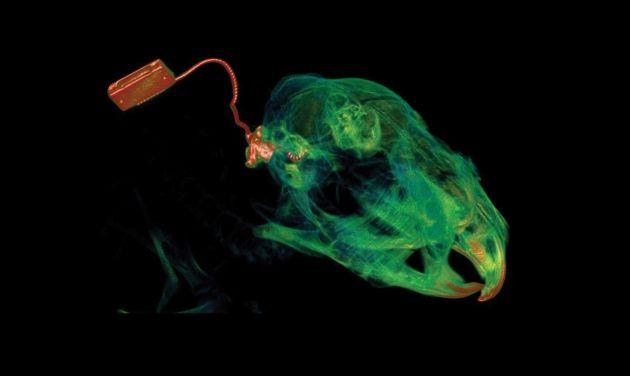 Imagem de tomografia computadorizada que mostra o implante coclear no crânio de um porquinho-da-índia com deficiência auditiva. Crédito: UNSW Australia Biological Resources Imaging Laboratory e National Imaging Facility of Australia