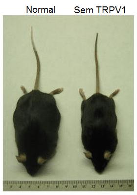Diferença entre os ratos normal (esq.) e desprovido de receptores TRPV1 (dir.), após seguirem uma mesma dieta. Crédito: Motter & Ahern (2008)