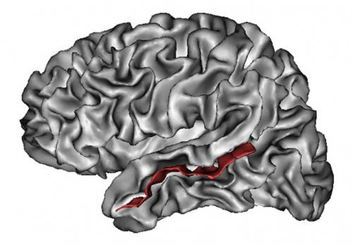 Visão do hemisfério cerebral esquerdo em que o sulco temporal superior se encontra destacado em vermelho. Crédito: Lefèvre J., Mangin J-F. (2010); PLoS Computational Biology