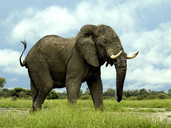 """Eis o novo candidato ao """"melhor nariz"""" do planeta: o elefante africano, com seus 2 mil genes olfativos — maior quantidade já encontrada em um animal. Foto: Beverly Joubert"""