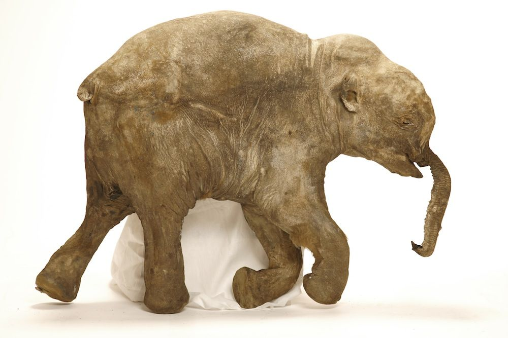 Imagens de tomografia computadorizada trouxeram à tona as mortes de dois filhotes de mamutes, um dos quais, Lyuba, mostrado acima. Crédito: Francis Latreille; University of Michigan Museum of Paleontology