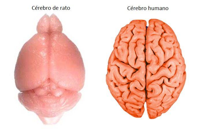 O liso e relativamente pequeno cérebro de um rato em comparação com o rugoso e grande cérebro humano. Crédito: Elizabeth Atkinson; Washington University in St. Louis