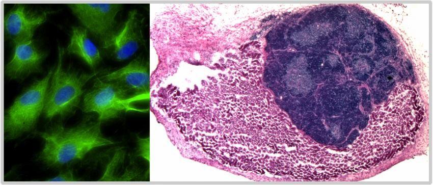 Pesquisadores desenvolveram um órgão inteiro em um animal vivo a partir de células reprogramadas em laboratório. No experimento, células do timo (esq.) geradas com a reprogramação direta foram implantadas em rins de ratos, dando origem a um timo plenamente funcional (dir.). Crédito: MRC Centre for Regenerative Medicine; University of Edinburgh