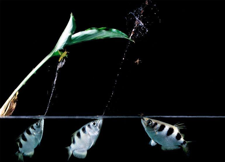 """""""– Bond, Peixe Bond"""": Peixe-arqueiros disparam jato d'água em insetos para devorá-los em seguida. Imagem: A&J Visage; Alamy"""