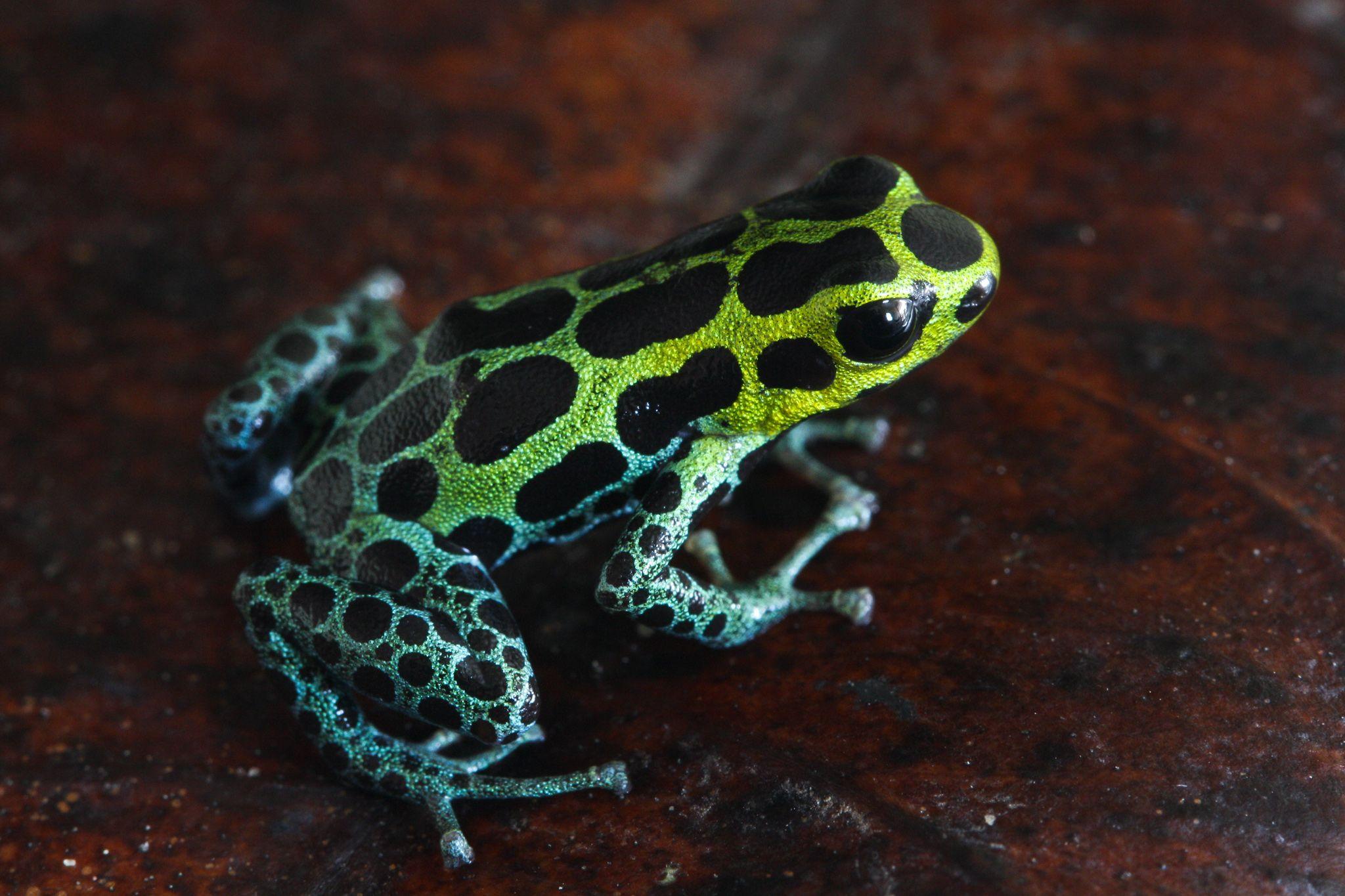 R. variabilis, uma das espécies imitadas pelo R. imitator. Foto: Evan Twomey