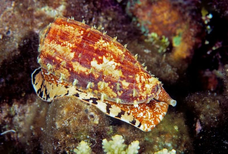 Conus geographus, um dos predadores mais hábeis dos mares tropicais. Crédito pela imagem: Design Pics Inc.