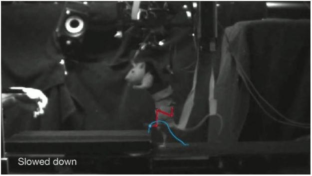 Roedor - cujos movimentos foram reparados após danos à medula o impedirem de caminhar - percorre um circuito de obstáculos montado na EPFL. Crédito: Michelle Starr/CNET