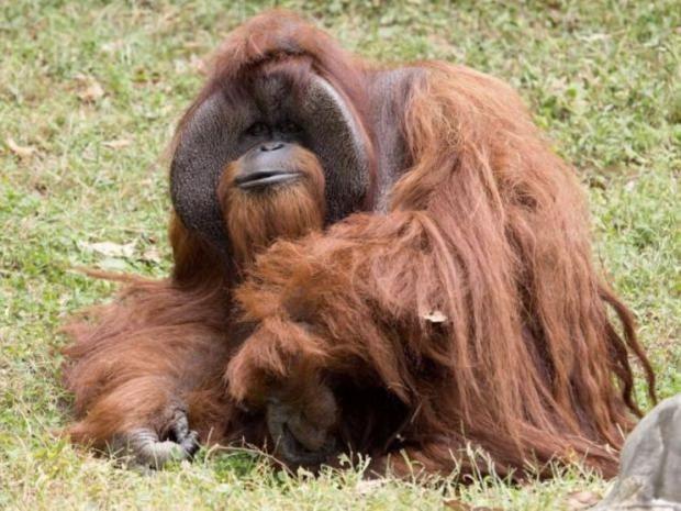 Língua gestual orangotango