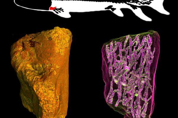 Úmero fóssil de Eusthenopteron