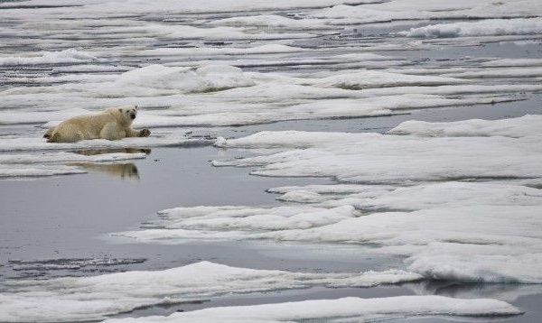 Urso polar aquecimento global