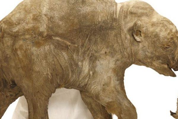 Mamute Lyuba 2 mamute