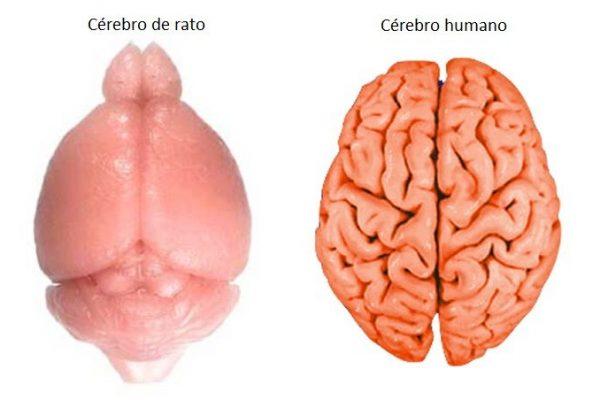 Cérebros humano e rato cérebro